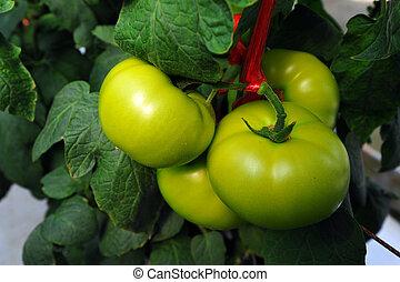 świeży, zielony, do góry, pomidory, zamknięcie