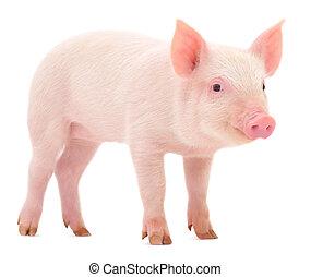 świnia, na białym