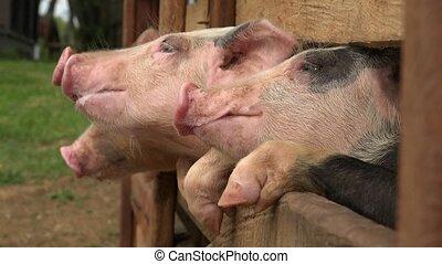świnie, na, zwierzę, zagroda