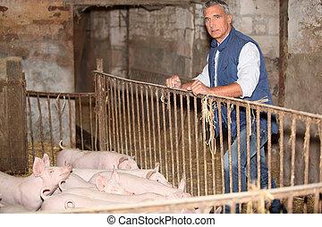świnie, stał, rolnik
