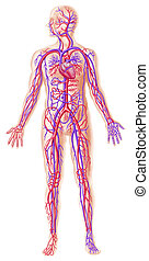 šikmý členit, circolatory, lidský, systém