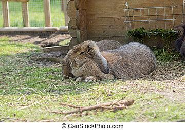 šikovný, králík, králíček, od pěstovat