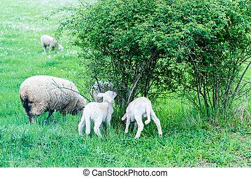 šikovný, sheep, rodina