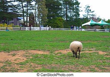 šikovný, sheep