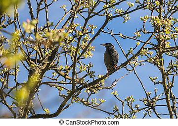 špaček, filiálka, ptáček, strom, jablko, sedění, -