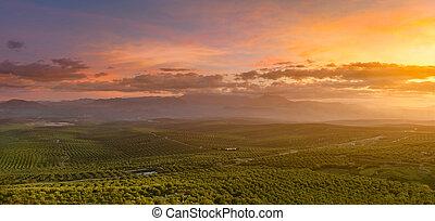 španělský, olivové barvy kopyto, krajina, v, východ slunce
