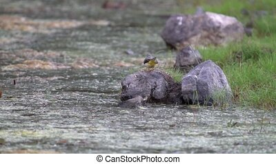 żółty, western, poza, slow-mo, przelotny, skała, pliszka