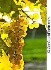 żółty, winogrona