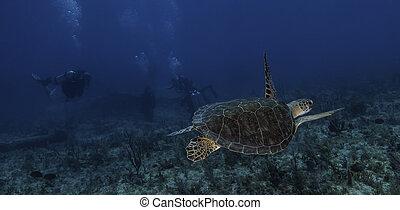 żółw, hawksbill, largo, klucz, morze