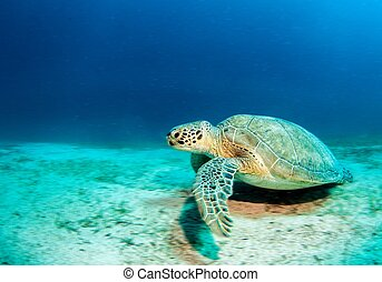 żółw, morze