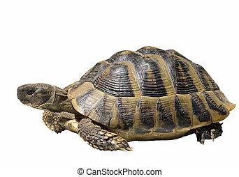 żółw, odizolowany, na białym