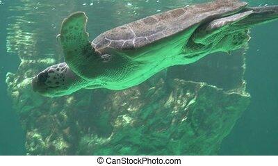 żółw, podwodny, morze, pływacki