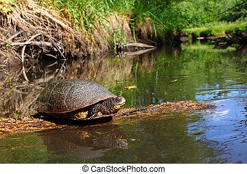żółw, rozkoszowanie się, blandings, kloc