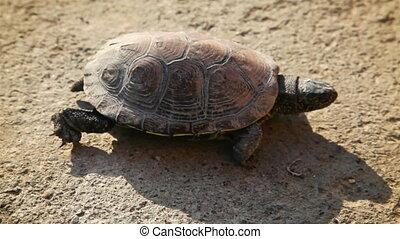 żółw, suchy, chodzenie, powoli, gruntowy