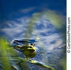 żaba, w, przedimek określony przed rzeczownikami, jezioro, oglądając, fotograf