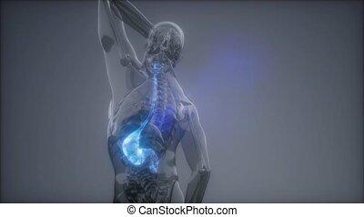 żołądek, egzamin, ludzki, rentgenologia