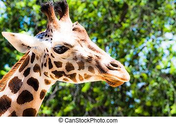 żyrafa, (giraffa, camelopardalis), w, miejscowy, ogród...