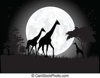 żyrafa, sylwetka, rodzina