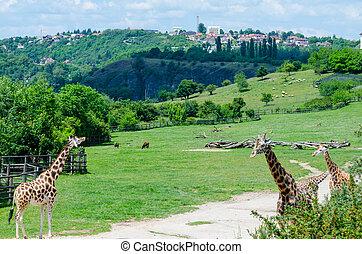 żyrafa, w, ogród zoologiczny, praga