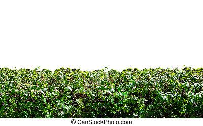 żywopłot, trawa, odizolowany, tło, biały