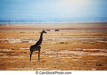 žirafa, dále, savanna., safari, do, amboseli, keňa, afrika