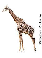 žirafa, osamocený, animální