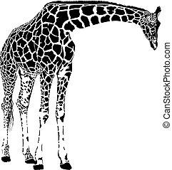 žirafa, vektor