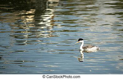 άγρια ζωή , λίμνη , oregon , klamath, κολύμβις , πουλί , clark's
