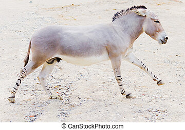 άγριος , πισινός , somali