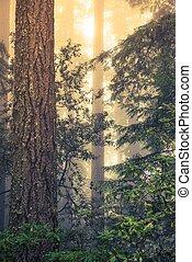 άγριος , redwood αναδασώνω