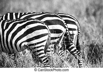 άκρη , αφρική , πάνω , zebra, κλείνω , νώτα