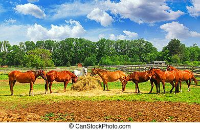 άλογα , ράντσο
