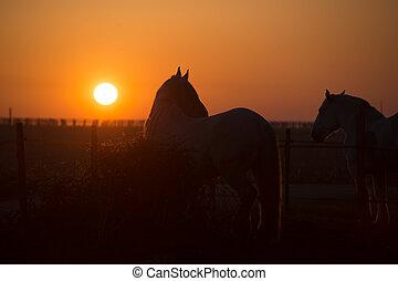 άλογα , σε , ηλιοβασίλεμα , μέσα , ο , πεδίο