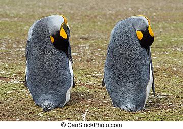 άναξ πιγκουίνος , ακινησία