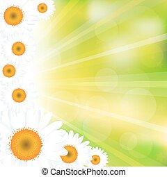 άνθινος , φόντο , chamomiles