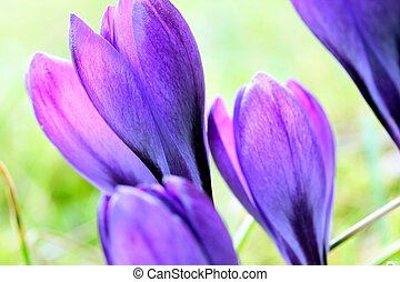 άνοιξη , ζαφορά , λουλούδια