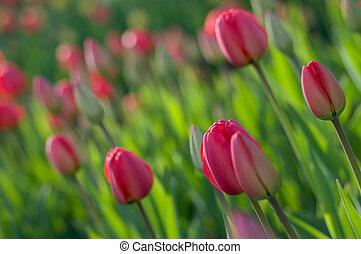 άνοιξη , tulips.