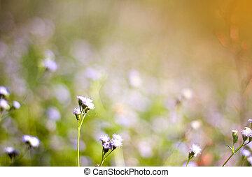 άσπρο , γρασίδι , λουλούδια , με , αμαυρώνω φόντο
