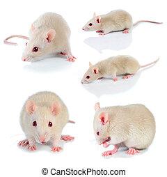 άσπρο , ποντίκι