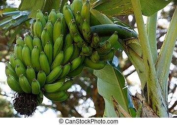 άφθονος αγχόνη , μπουκέτο , κρεμώ , banana's