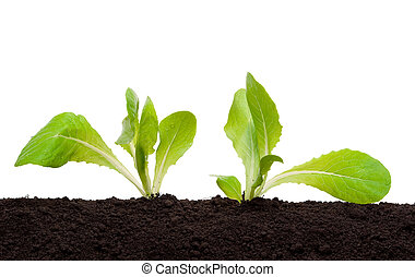 έδαφος , νεαρό φυτό , μαρούλι