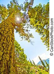 ήλιοs , δέντρο , πεύκο , διαμέσου , καναπές , shines