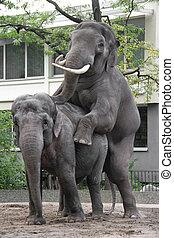 αγάπη , ελέφαντας