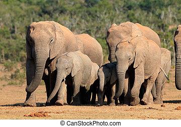 αγέλη , αφρικάνικος ελέφαντας