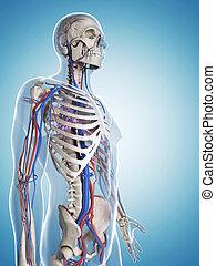 αγγειακός , αρσενικό , σύστημα , σκελετός