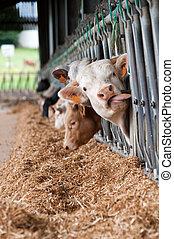 αγελάδα , αναμμένος άρθρο αγρόκτημα
