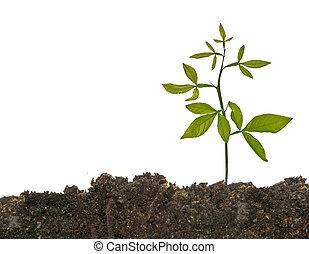 ακμάζω , έδαφος , νεαρό φυτό