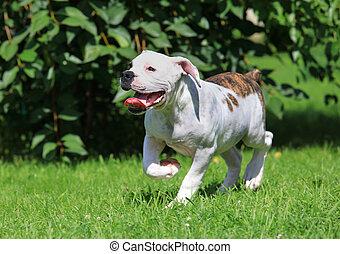 αμερικανός , σκύλος μπουλντώκ , κουτάβι , τρέξιμο , αναμμένος άρθρο αγρωστίδες