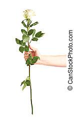 ανάμιξη αμπάρι , ένα , τριαντάφυλλο , απομονωμένος