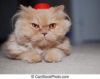 ανέχομαι , πάνω , γάτα , κλείνω , καπέλο , κόκκινο